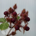 Japanese Wineberry  20cm